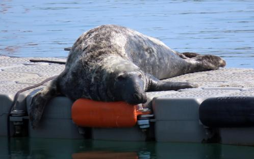 Seal on the pontoon
